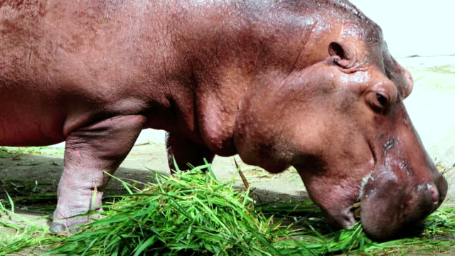 Hippo lunch