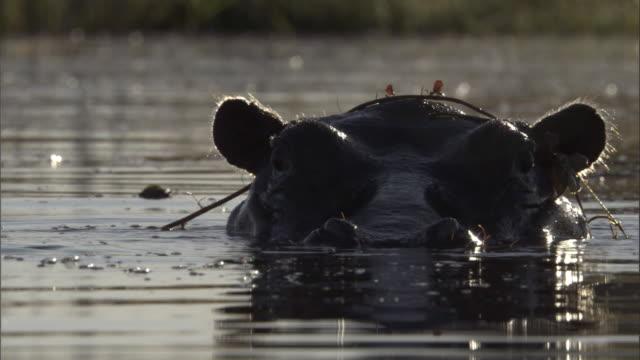 vídeos y material grabado en eventos de stock de a hippo pokes its head out of a river, then submerges. - delta de okavango