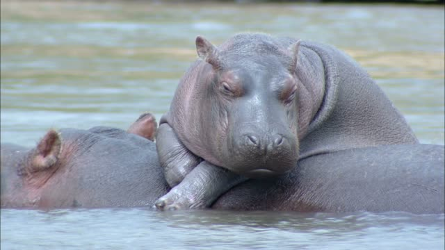 A hippo rests on another hippo in a river.