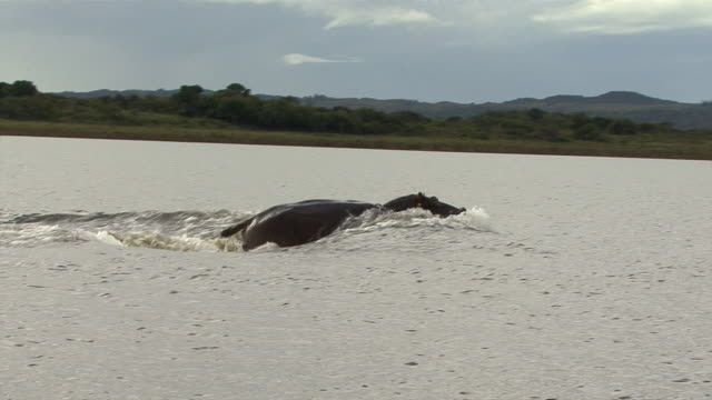 WS TS Hippo (Hippopotamus amphibius) running through water / iSimangaliso Wetland Park, KwaZulu-Natal, South Africa