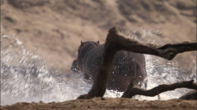 Hippo (Hippopotamus amphibius) runs up riverbank, Luangwa, Zambia