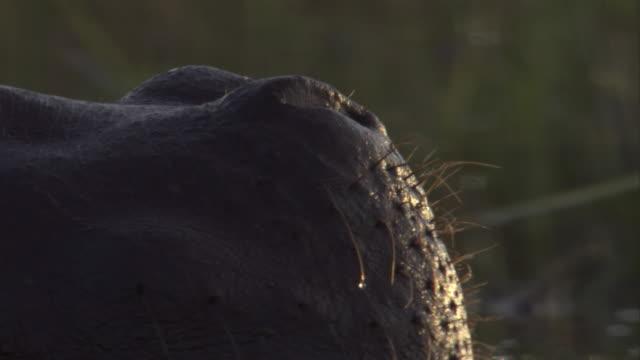 vídeos y material grabado en eventos de stock de a hippo sniffs the air with its whiskery nostrils. available in hd. - vibrisas