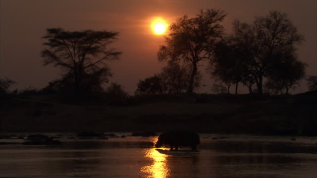 hippo (hippopotamus amphibius) stands in river at sunset, luangwa, zambia - dusk stock videos & royalty-free footage