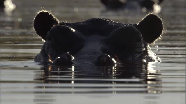 vídeos y material grabado en eventos de stock de a hippo submerges with a splash and resurfaces with wiggling ears. - delta de okavango