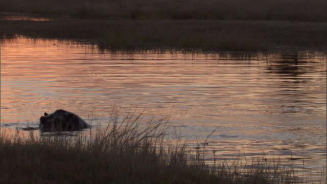vidéos et rushes de a hippo surfaces in a water hole in botswana at golden hour. - remonter à la surface