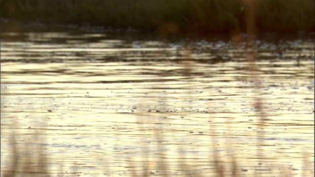 vidéos et rushes de a hippo surfaces then dives underwater again in botswana. - remonter à la surface