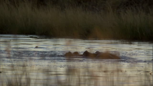 vidéos et rushes de a hippo surfaces then re-submerges in botswana. - remonter à la surface