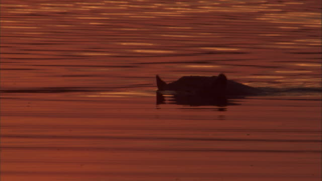 vidéos et rushes de a hippo swims through water at sunrise. available in hd. - hippopotame