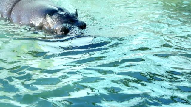 vídeos de stock, filmes e b-roll de hipopótamo (hd - zoologia