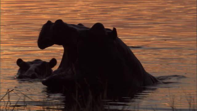 vídeos y material grabado en eventos de stock de a hippo wades in a watering hole and opens its large jaws. available in hd. - delta de okavango