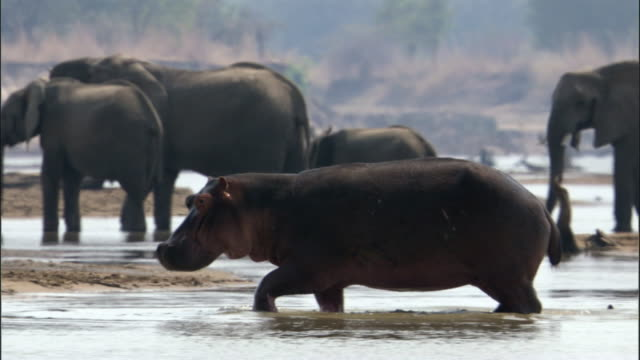 Hippo (Hippopotamus amphibius) wades out of river, Luangwa, Zambia