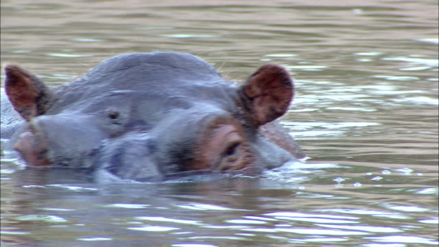 stockvideo's en b-roll-footage met a hippo wades with its eyes above the water. - waden