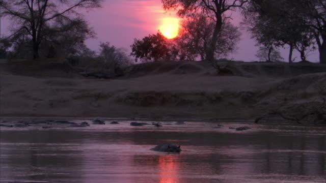 Hippo (Hippopotamus amphibius) wallows in river at sunset, Luangwa, Zambia