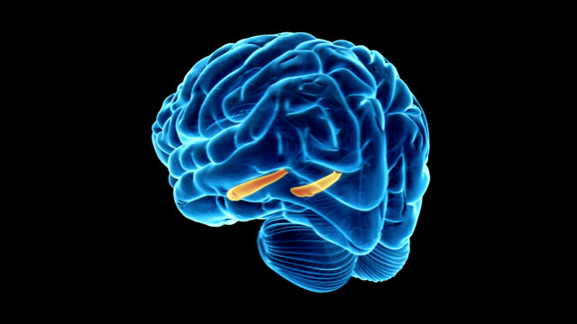 Hippocampus of the brain