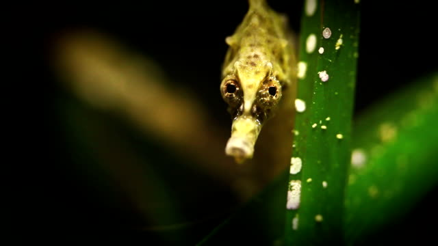 stockvideo's en b-roll-footage met hippocampus sea horse - zeepaardje