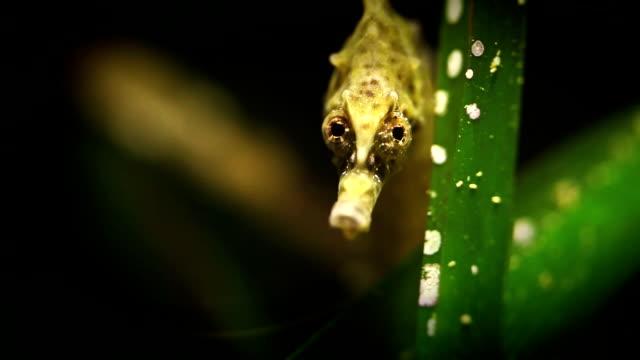 Hippocampus sea horse