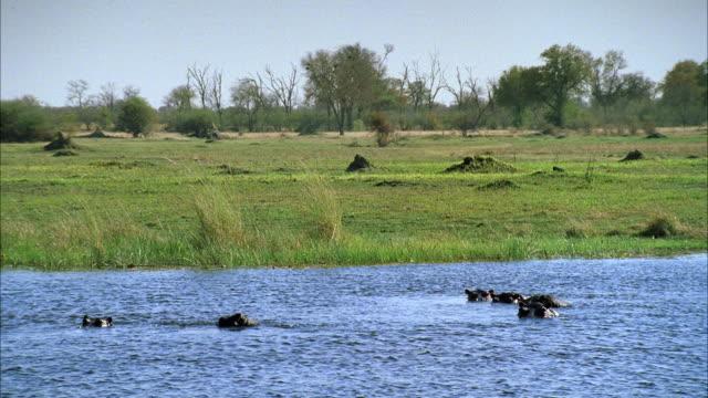 vídeos y material grabado en eventos de stock de ms hippopotamis in river / unspecified  - salir del agua