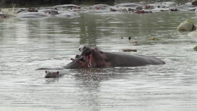 hippopotamus (hippopotamus amphibius)- 2 adult males fighting with wide open jaws in a pool - タンザニア点の映像素材/bロール