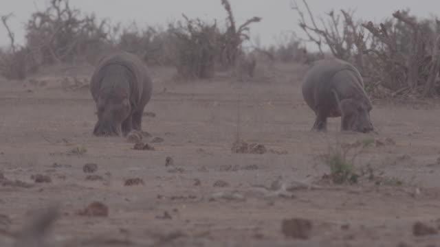 hippopotamus / africa - two animals stock videos & royalty-free footage