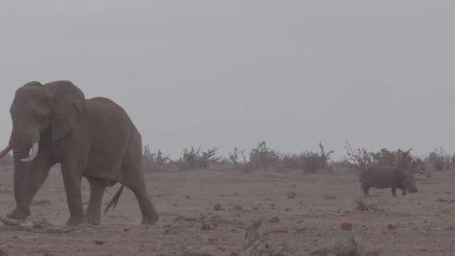 hippopotamus and elephant / africa - herbivorous stock videos & royalty-free footage