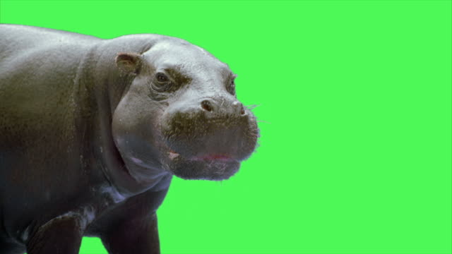 hippopotamus animal on green screen - hippopotamus stock videos & royalty-free footage