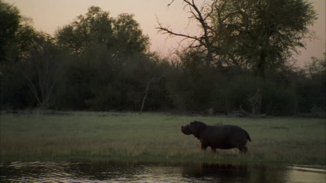 ws hippopotamus coming out from  river / unspecified - dusk stock videos & royalty-free footage
