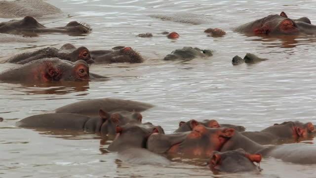 hippopotamus (hippopotamus amphibius)- crowd in the water, rest and sleep - タンザニア点の映像素材/bロール
