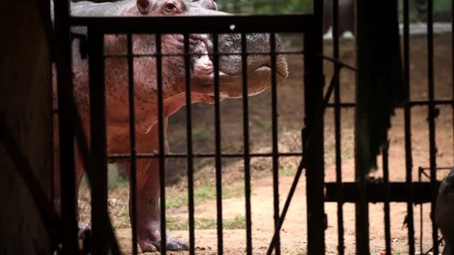 hippopotamus eating inside an enclosure at assam state zoo in guwahati, india on 21 nov. 2020. the hippopotamus, also known as the river horse, lives... - herbivorous stock videos & royalty-free footage