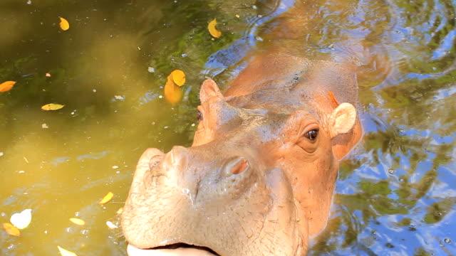vidéos et rushes de hippopotame manger - hippopotame