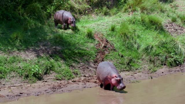 hippopotamus entering mara river, masai mara, kenya, africa - grasen stock-videos und b-roll-filmmaterial
