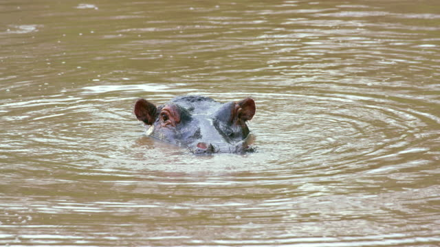 hippopotamus head in river maasai mara, kenya, africa - hippopotamus stock videos & royalty-free footage