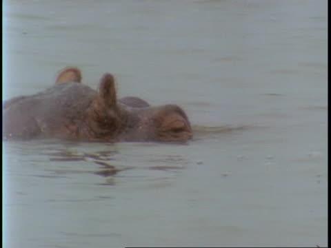 vídeos de stock, filmes e b-roll de ms hippopotamus, hippopotamus amphibius, in water, uganda, africa - vindo à tona