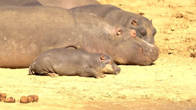 Hippopotamus in Erindi, Namibia
