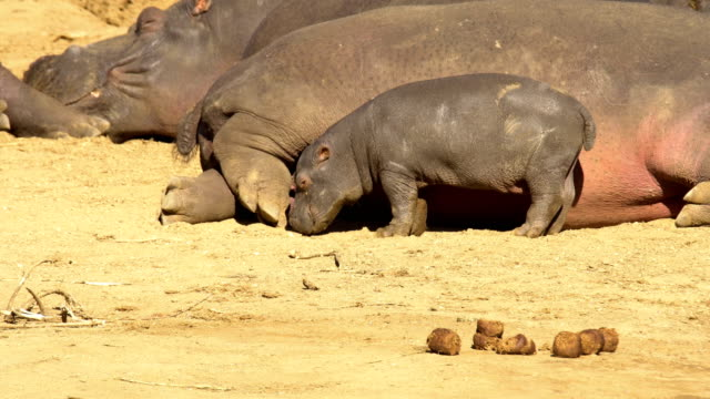 hippopotamus in erindi, namibia - herde stock-videos und b-roll-filmmaterial