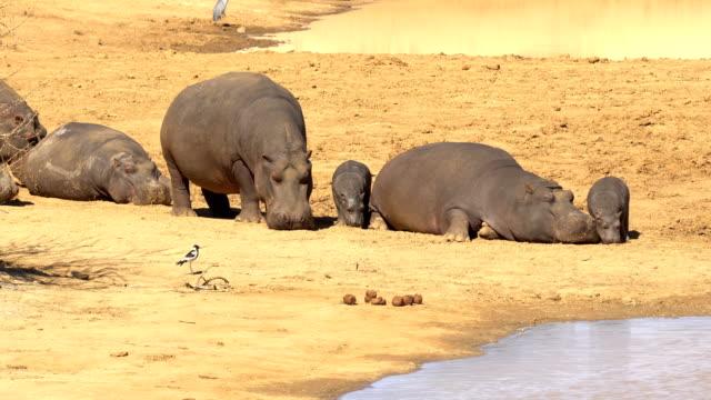 vidéos et rushes de hippopotamus in erindi, namibia - hippopotame