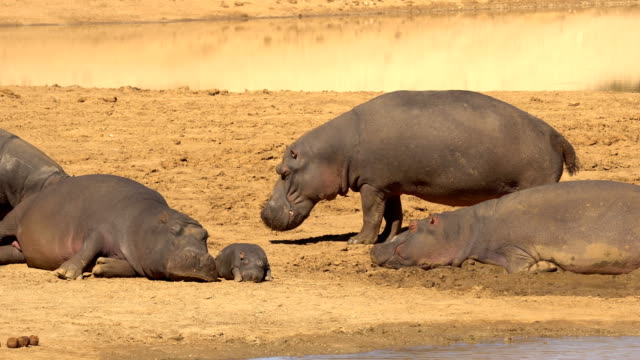 hippopotamus in erindi, namibia - hippopotamus stock videos & royalty-free footage