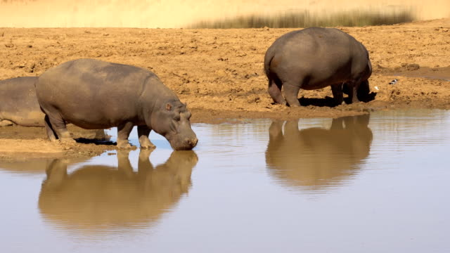 hippopotamus in erindi, namibia - 20 seconds or greater stock videos & royalty-free footage