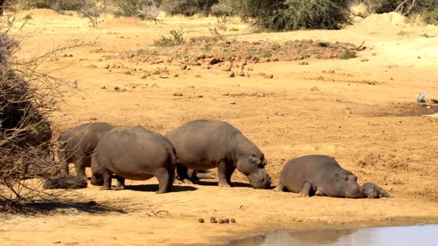 hippopotamus in erindi, namibia - eyal bartov stock videos and b-roll footage