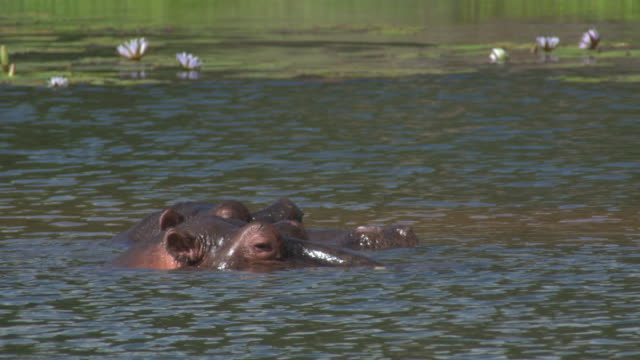 hippopotamus in south africa - 厚皮動物点の映像素材/bロール