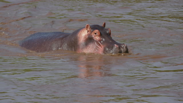 stockvideo's en b-roll-footage met hippopotamus in talek river, maasai mara, kenya, africa - nijlpaard