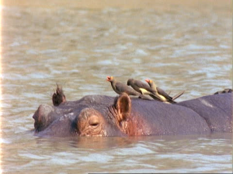 vídeos y material grabado en eventos de stock de cu hippopotamus in water with red-billed oxpeckers on back, oxpeckers walk down of body to drink from water - simbiosis