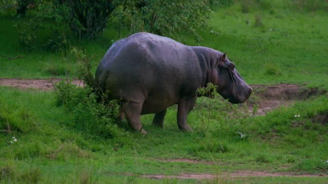 Hippopotamus Marking Territory Maasai Mara, Kenya, Africa