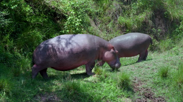 hippopotamus on mara river bank grazing, masai mara, kenya, africa - grasen stock-videos und b-roll-filmmaterial