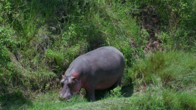 hippopotamus on mara river bank yawning, masai mara, kenya, africa - hippopotamus stock videos & royalty-free footage
