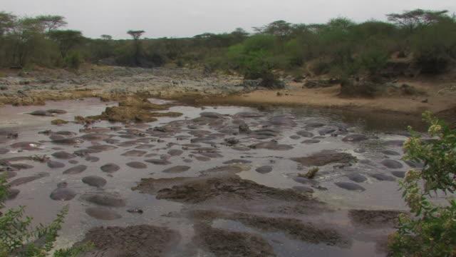 hippopotamus (hippopotamus amphibius) pool, serengeti, tanzania - タンザニア点の映像素材/bロール
