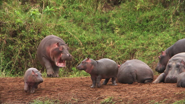 ms hippopotamus running behind each other / national park, africa, kenya - 攻撃的点の映像素材/bロール