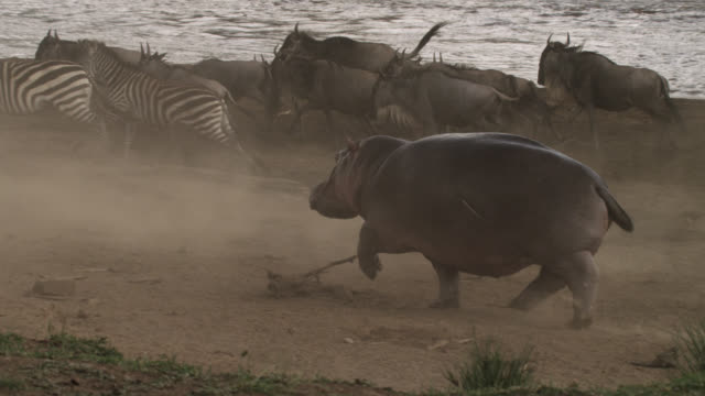 Hippopotamus scatters zebras and wildebeest on river bank, Kenya