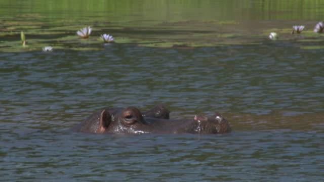hippopotamus south africa - 厚皮動物点の映像素材/bロール
