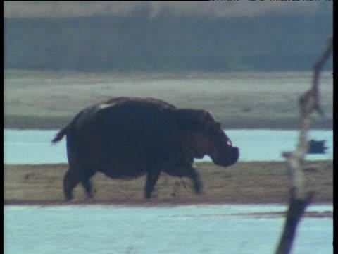vidéos et rushes de hippopotamus sprinting - hippopotame