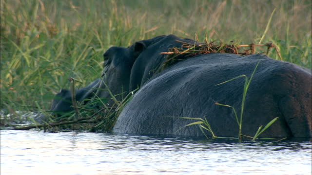 a hippopotamus stands half-submerged in a marsh and munches grass. available in hd. - tier rücken stock-videos und b-roll-filmmaterial